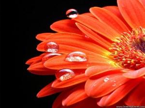 orange-gerbera-81
